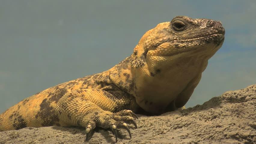 Chuckwalla, desert native lizard, sits on rock, claws extended, eyes intruder. 1080p - HD stock video clip