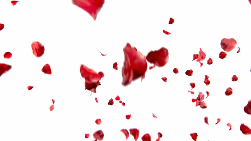 falling petals roses 3d animation on white and black background with alpha channel - HD stock video clip