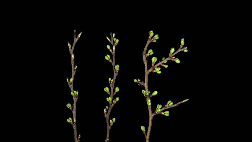 Time-lapse of blooming plum tree branch 10x4 in DCI-4K PNG+ format with alpha transparency channel isolated on black background.