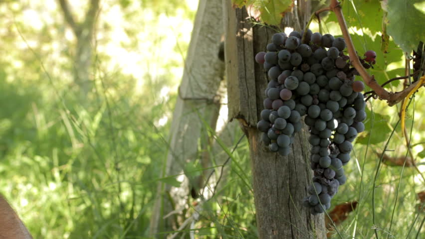 Adult Man Harvesting Grapes in the Vineyard - HD stock footage clip