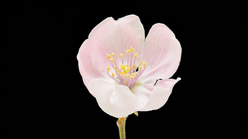 Quince flower growing timelapse cut out, encoded with photo png, transparent background/Quince flower blossoming cut out timelapse. #6270410