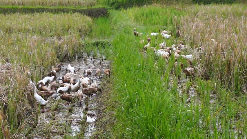 Ducks in a rice paddy, Indonesia, Asia   Shutterstock HD Video #6302621