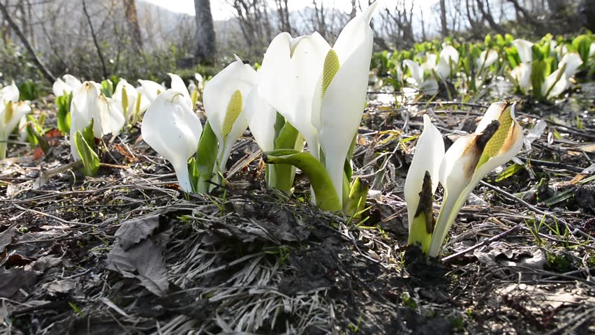 Flowers of skunk cabbage - HD stock video clip