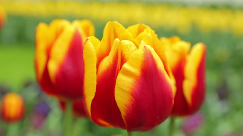 Close up of yellow and red, tulips growing in a field - HD stock footage clip
