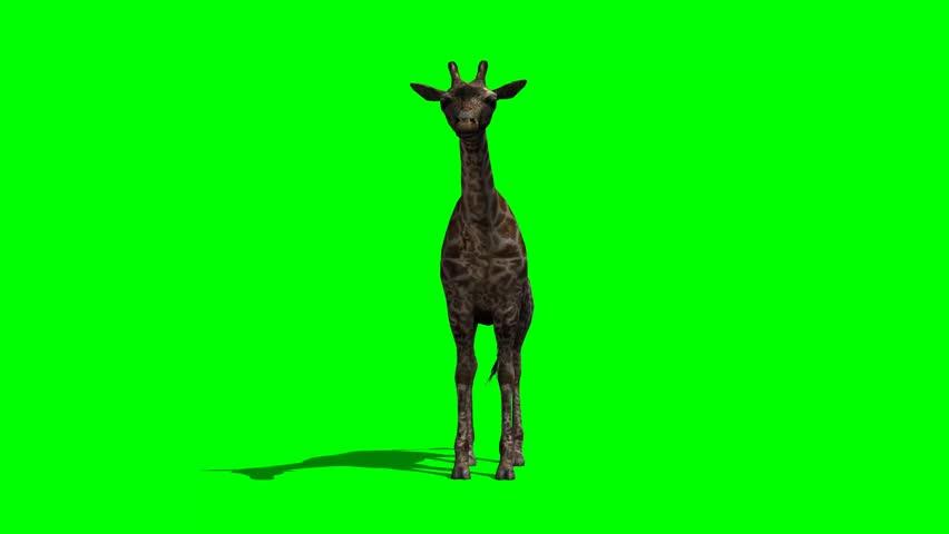 Giraffe standing and looking around  - green screen | Shutterstock HD Video #6402800