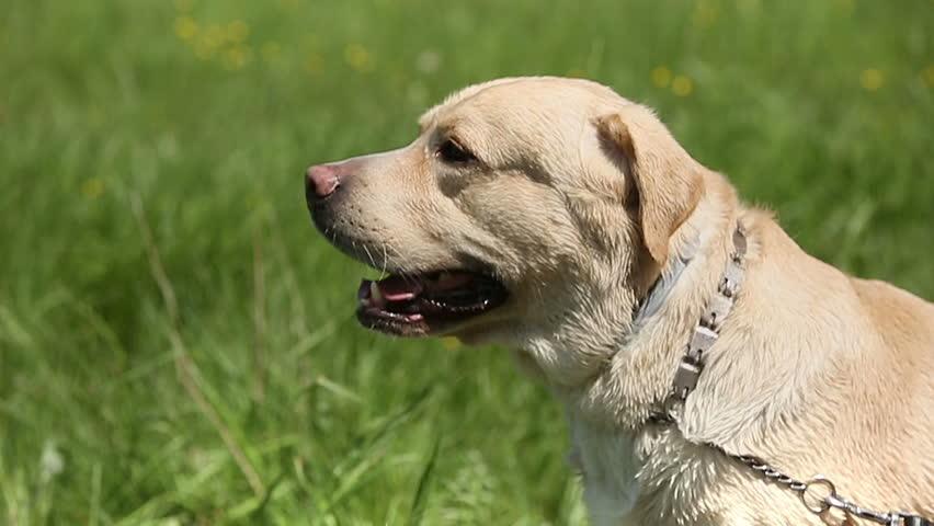 labrador dog 1080p hd video