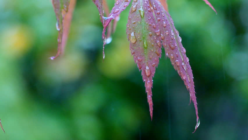 Raindrops Falling Off Leaves Of Japanese Maple, Acer Stock ...