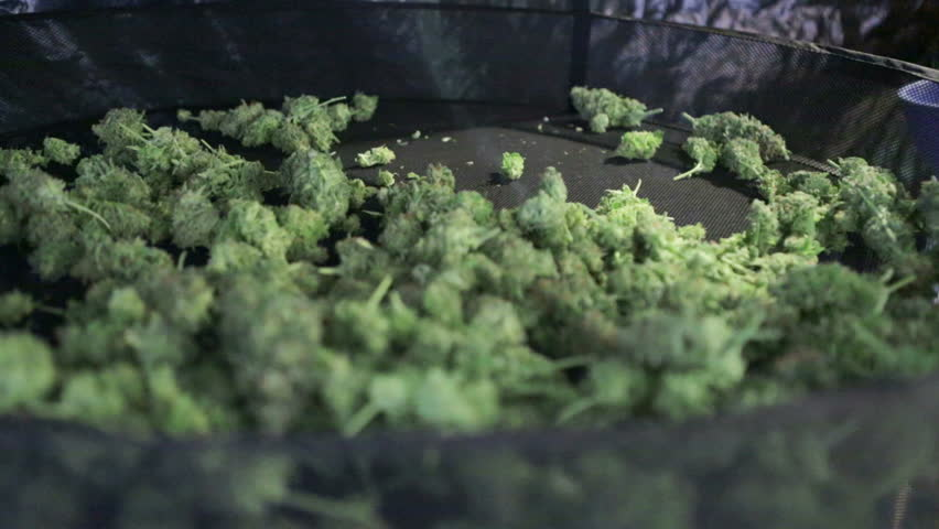 A man dumps out a bowl of freshly trimmed marijuana buds onto a drying rack during harvest