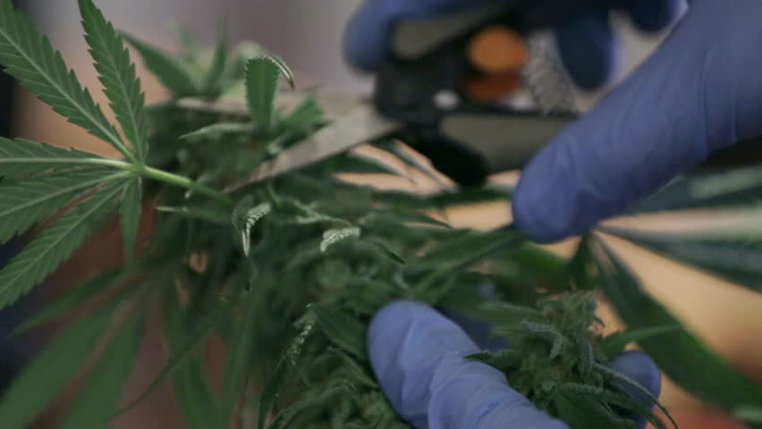 Close up of a man trimming a freshly cut marijuana bud during harvent