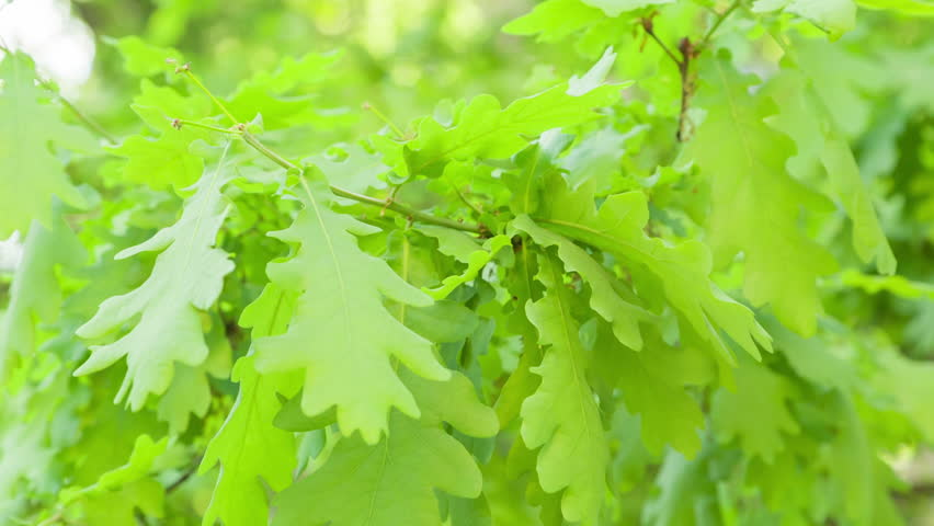 young oak leaves sways in the wind, springtime