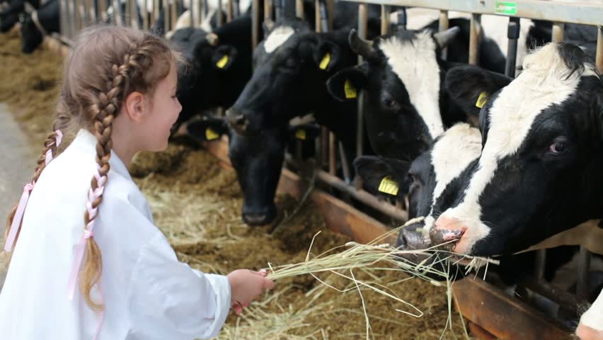 Little girl in white robe giving hay to cows at dairy farm - HD stock footage clip