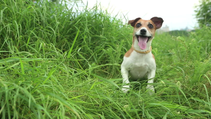 Beautiful active dog among the tall grass with open mouth jumping looking eagerly waiting for the throw stick. Running very quickly out of the frame - HD stock footage clip