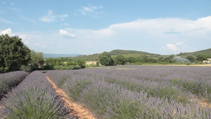 Lavender field in Provence France - HD stock footage clip