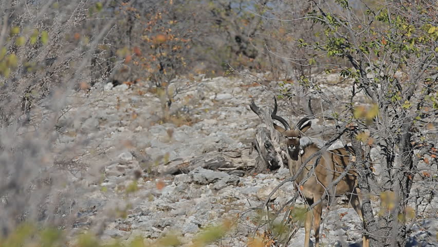 Side view of male kudu antelopes in camouflage