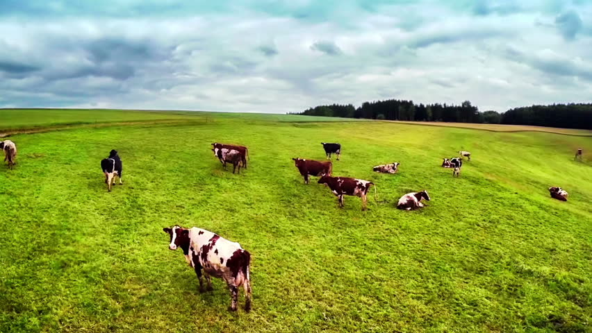 Flying over green field with grazing cows
