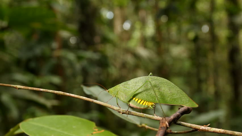 Green katydid resembling a leaf with rainforest in the background, Ecuador