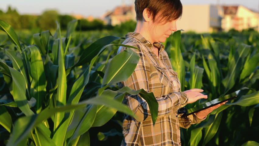 Woman agronomist using tablet computer in agricultural cultivated corn field in sunset. 1920x1080, 1080p full hd footage.