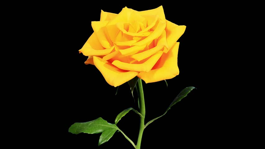 Blooming yellow roses flower buds green screen full hd - Yellow rose images hd ...