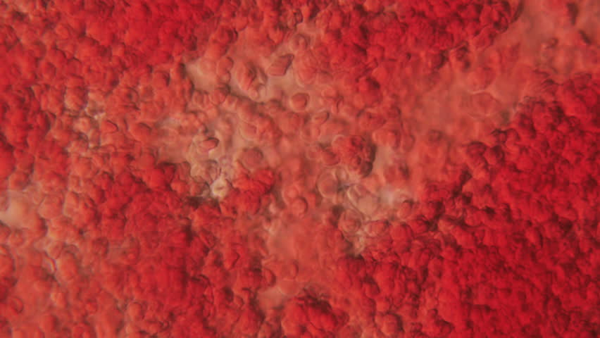 Human Blood Under Phase Contrast Microscope seen at 800x