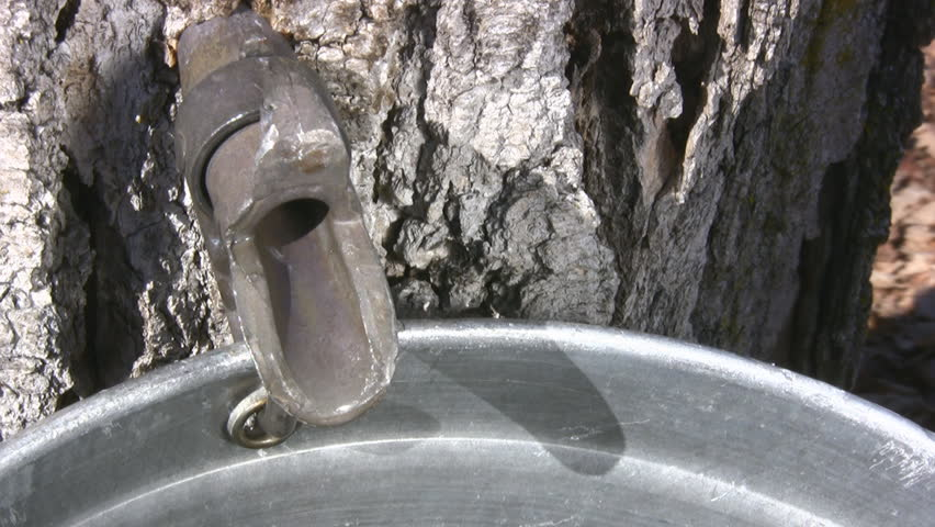 Dripping Sap Close Of A Maple Tree Tap For Collecting Maple Sap - HD stock video clip