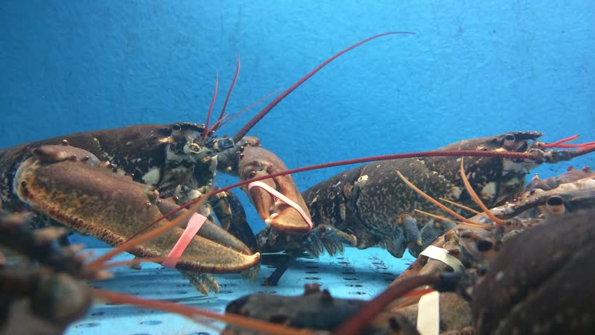 Lobsters in water tank at fish farm stock footage video for Illinois fish farms
