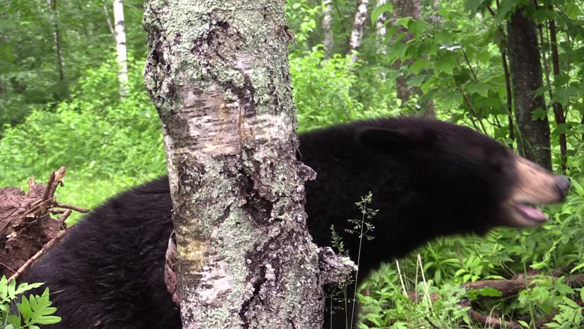 An Americanus black bear grasps a tree and gets excited