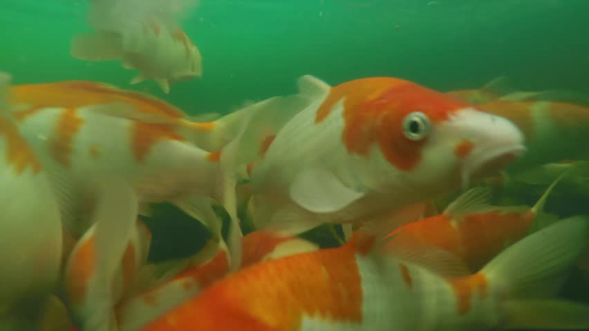 Koi pond underwater video stock footage video 7002265 for Koi fish pond hd