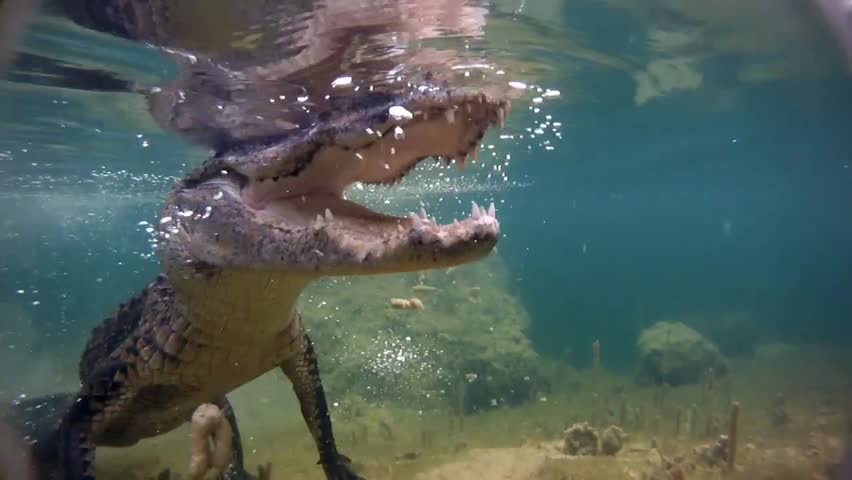 An alligator thrashes underwater and catches a fish. - HD stock footage clip