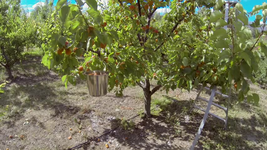 Picking Apricots From Tree Full High Definition Video