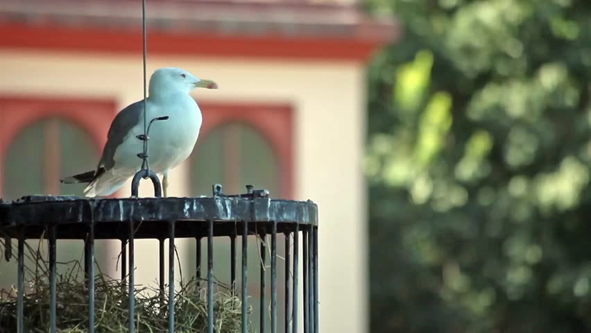 Video clip of seagull resting on a birds cage in the park.