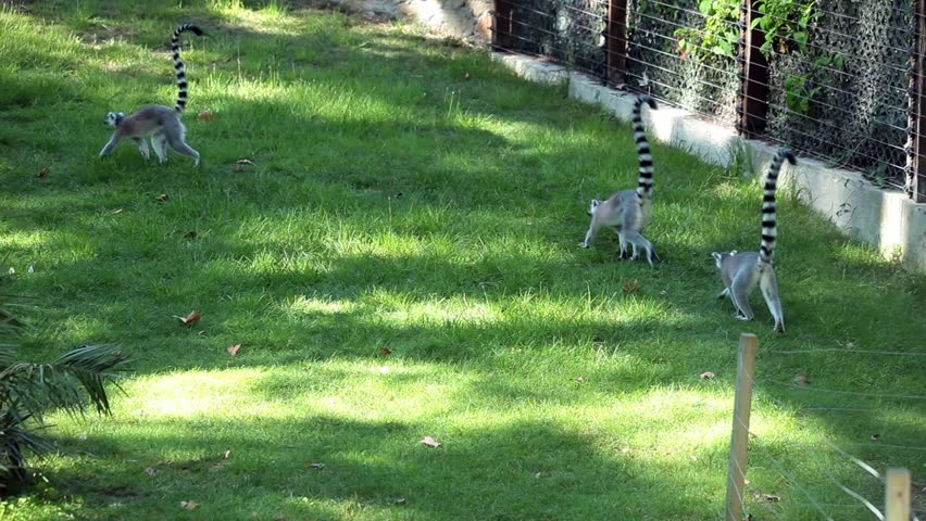 Video clip of three ring-tailed lemurs (Lemur Catta) playing.