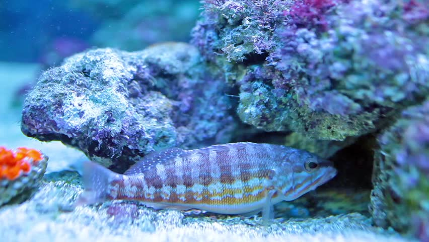 Video clip of comber fish (Serranus cabrilla) species of fish in the family Serranidae.  It lives in habitats like rocky or sandy sounding-deeps in the Mediterranean Sea, the Black Sea and Atlantic.
