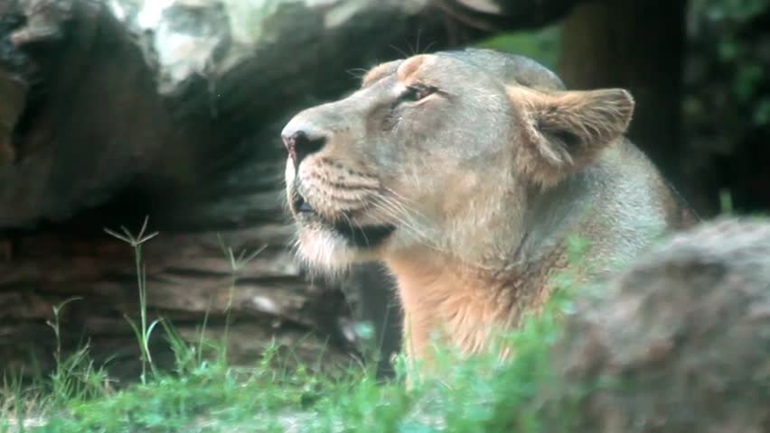 Video clip of female lion standing in the grass and looking aroound.