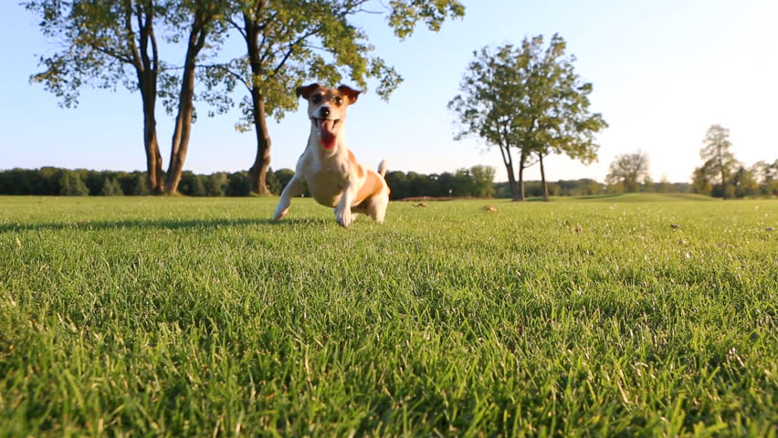 Happy wellness dog life. Young healthy active Jack Russell Terrier playing outdoors with frisbee - HD stock footage clip