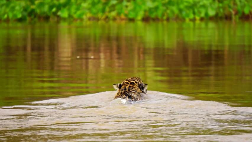 Rear view of Jaguar swimming in Pantanal wetlands, slow speed, Brazil