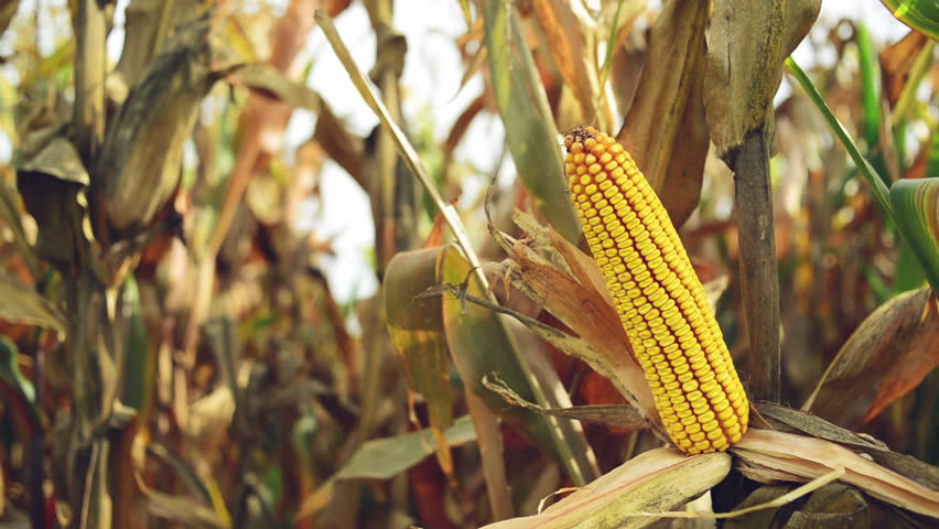 Maize corn ear in cultivated agricultural corn field ready for harvest picking. 1920x1080 full hd footage.
