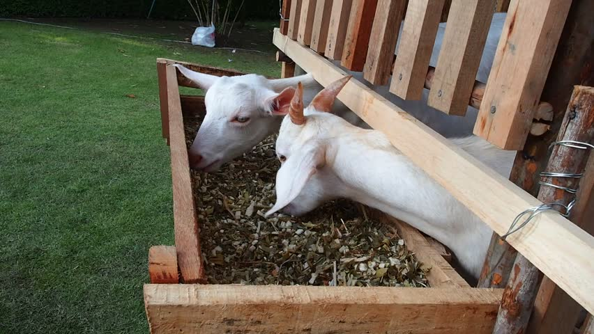 Goat eats in a bamboo stable.