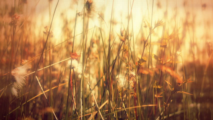 lose up grass HD stock footage. Wild close up grass blowing in the wind in a rural Countryside, filmed on the Blackmagic Cinema Camera.