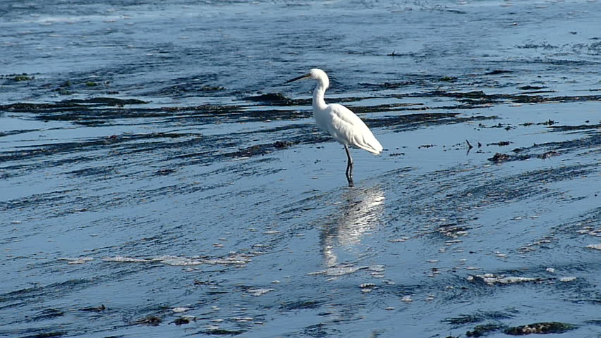 White Egret bird wading in the tide pools on the central coast of California, USA.