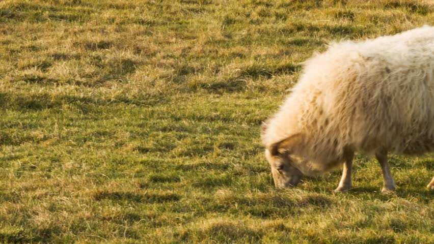 Sheep with green grass, from Iceland filmed with Black Magic camera