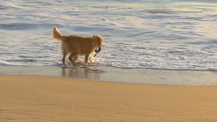 A Golden Retriever dog fetching a toy on the beach in California.  Filmed in Slow Motion at 120 fps.