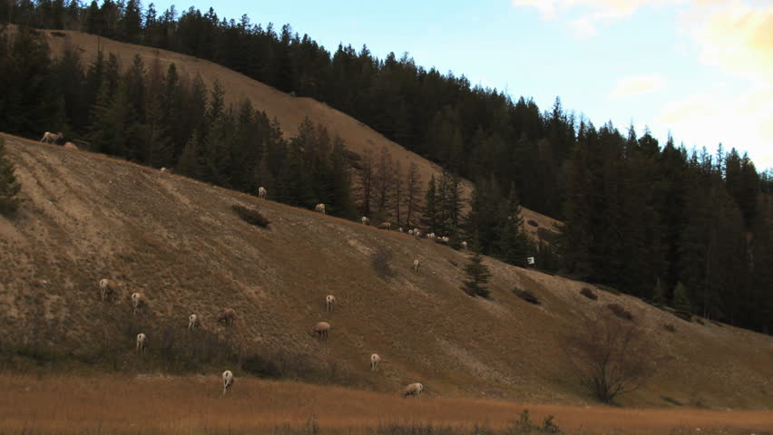 Mountain sheep timeplapse on bank - HD stock footage clip