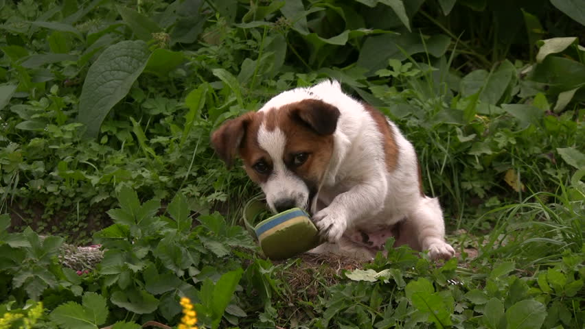 Dog plays with shoe in a backyard