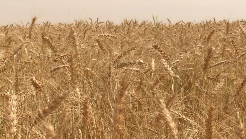 Wheat field. Golden wheat on the wind. Ready for Harvest.