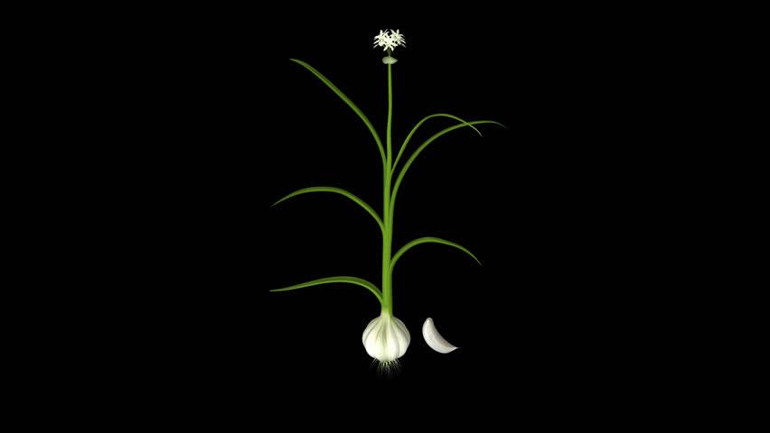 Header of Allium sativum