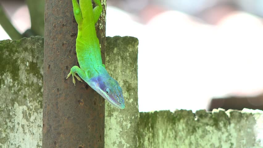 """Green and blue Chameleon / Cuban Knight Anole. Push-ups and head bobs, color change, display of colorful throat """"fans""""--that's how anoles communicate. - 4K stock footage clip"""