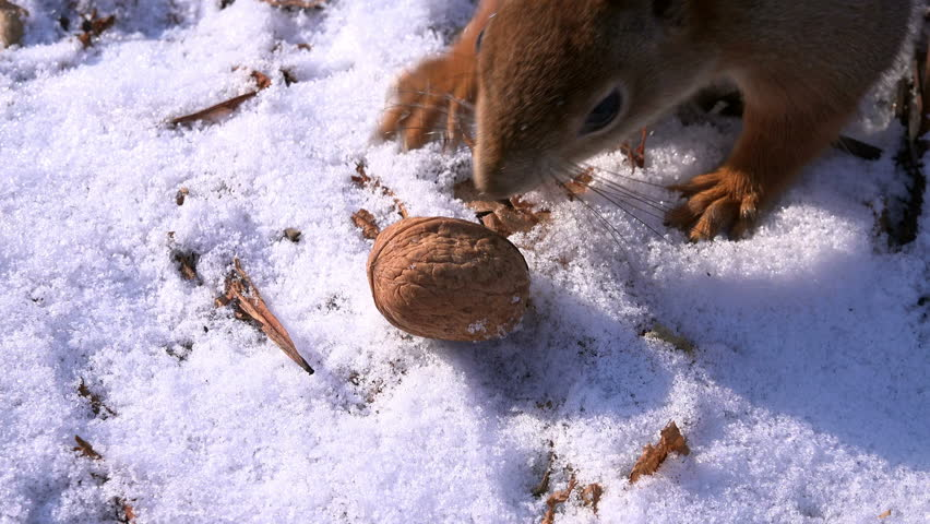 Cute Squirrel Taking Walnut and Escaping in Winter Forest. 4K Ultra HD 3840x2160 Video Clip