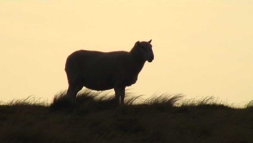 Sheep silhouette - SD stock video clip