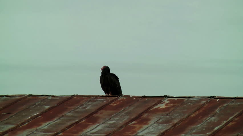 A Lone Turkey Vulture Or Buzzard Sitting On A Rusty Tin