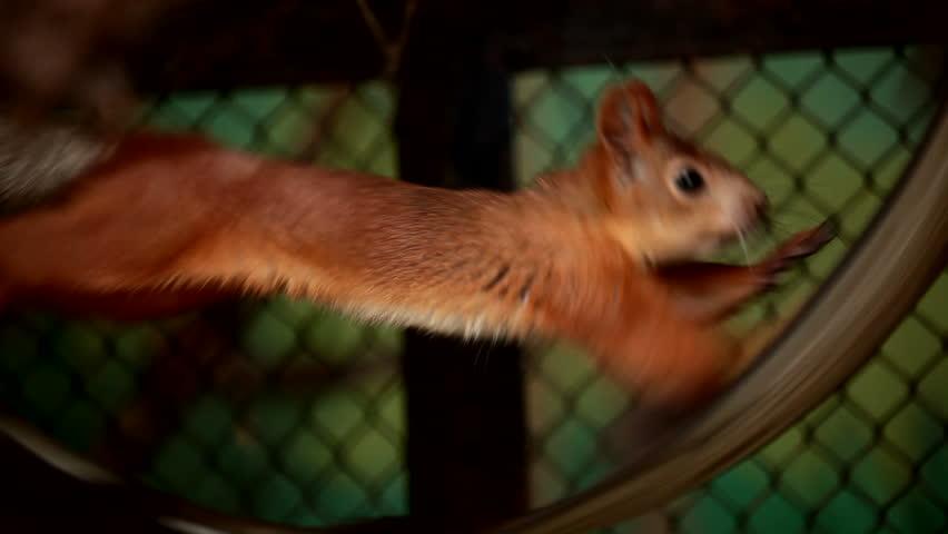 Squirrel in captivity. Squirrel diligently runs on a wheel. Animals in captivity.